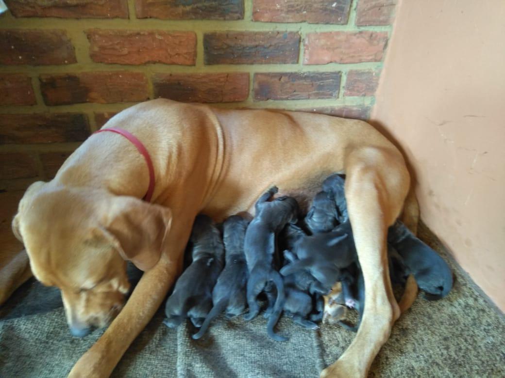 Ridgeback X Weinmeraner Pups