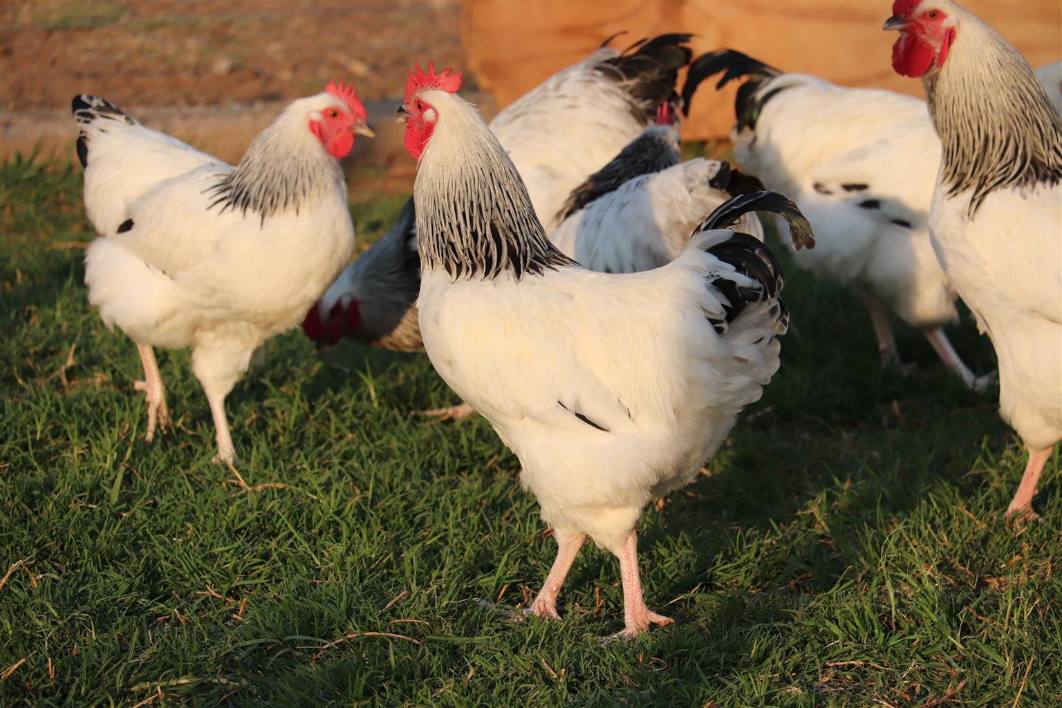 Light Sussex Roosters for sale