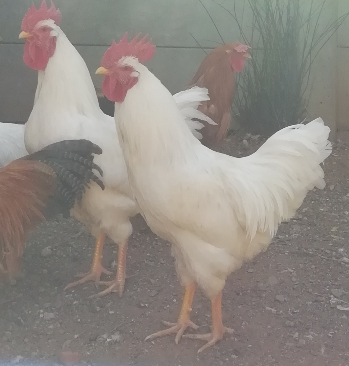 Rooster white