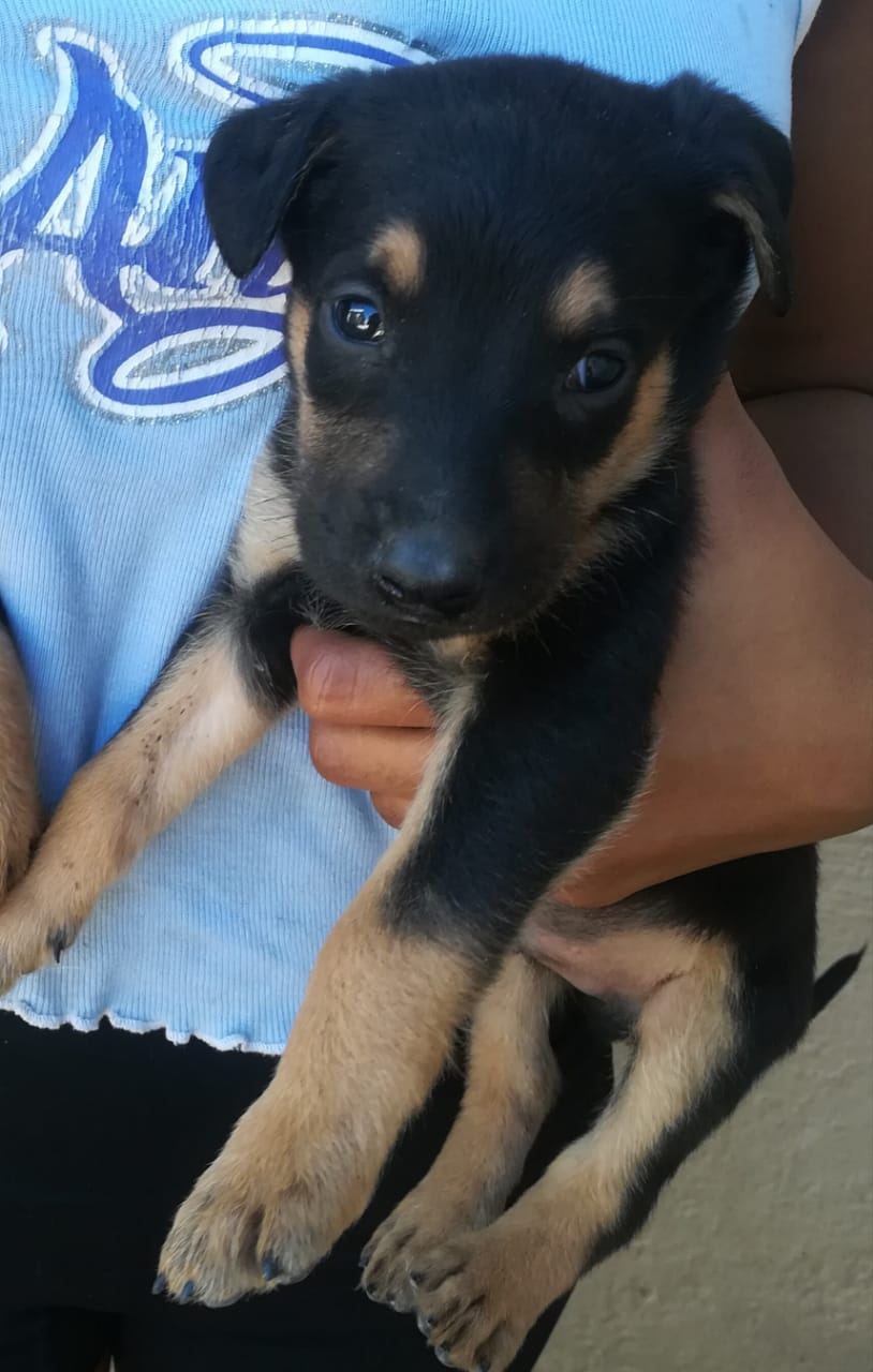 German Sheppard Cross Dobberan puppies