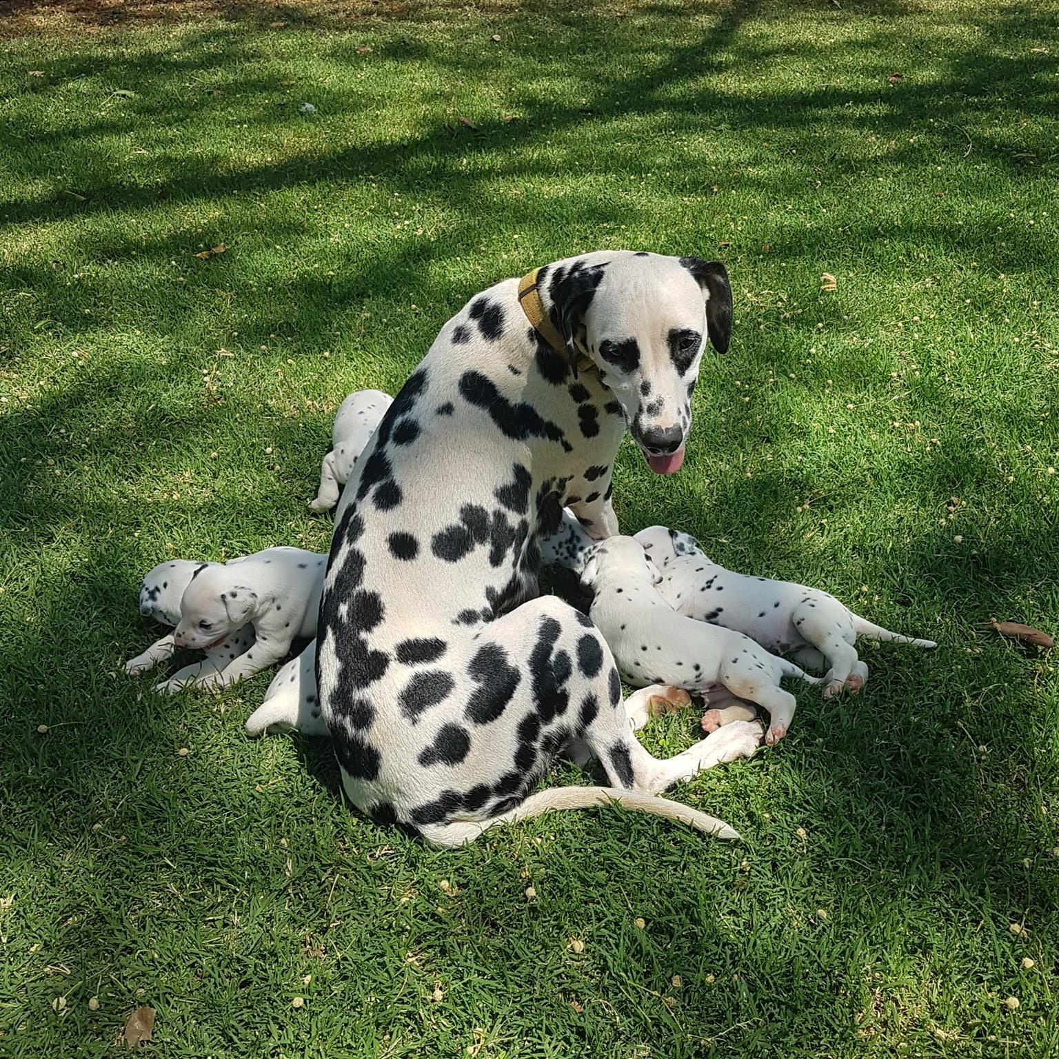 Thoroughbred Dalmation pups for sale