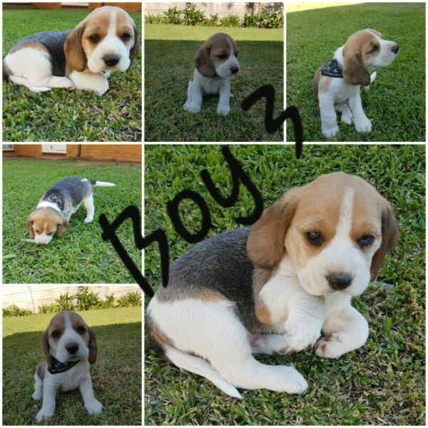 Cutest beagle boys