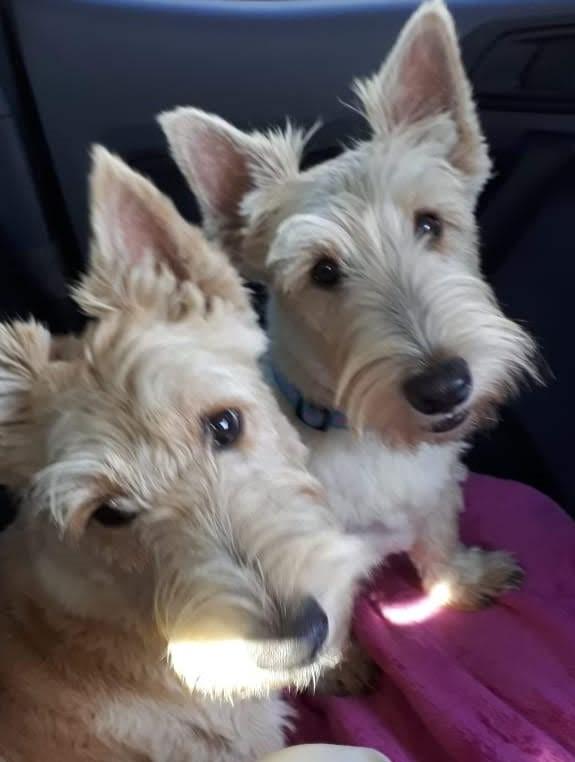 Wheaten Scottish Terrier puppies for sale