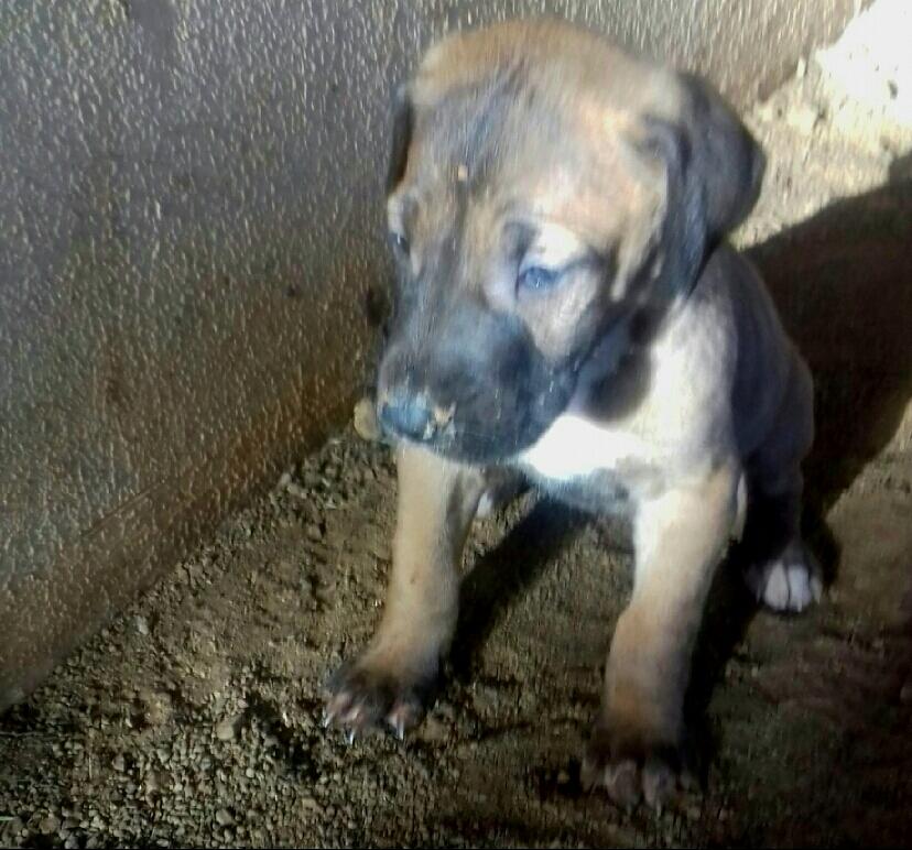 Great Dane Puppies (pedigreed)