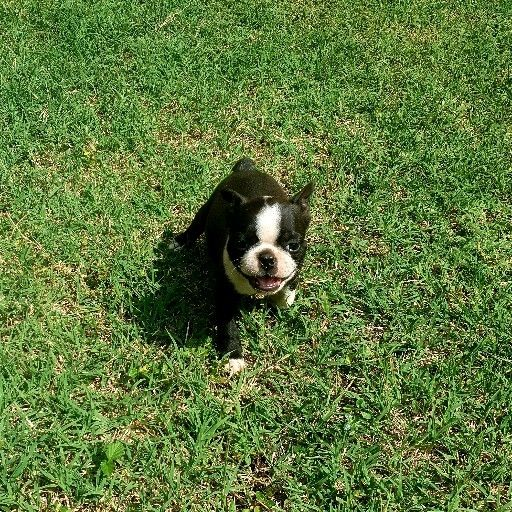 2 Female Bostons Terriers available