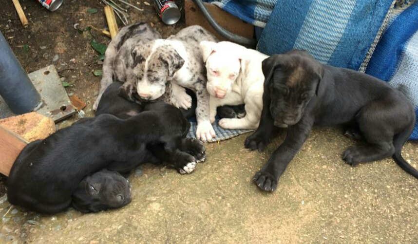 Great Dane Puppies For Sale