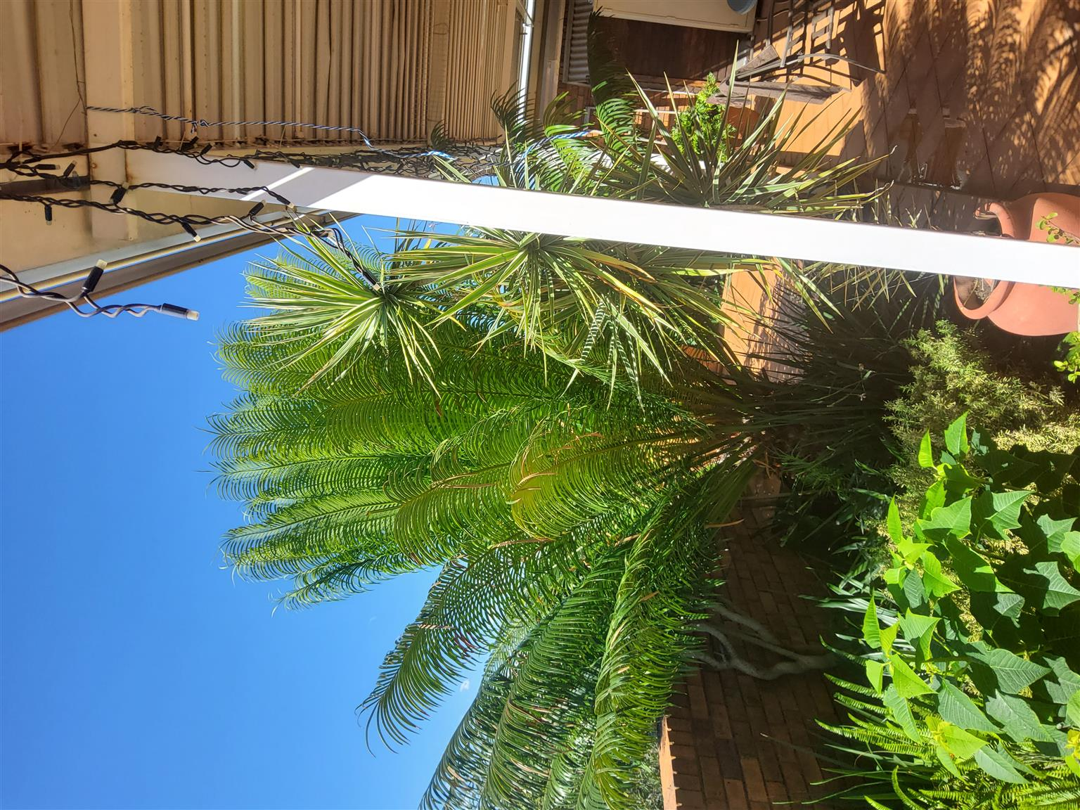 Cycad for sale