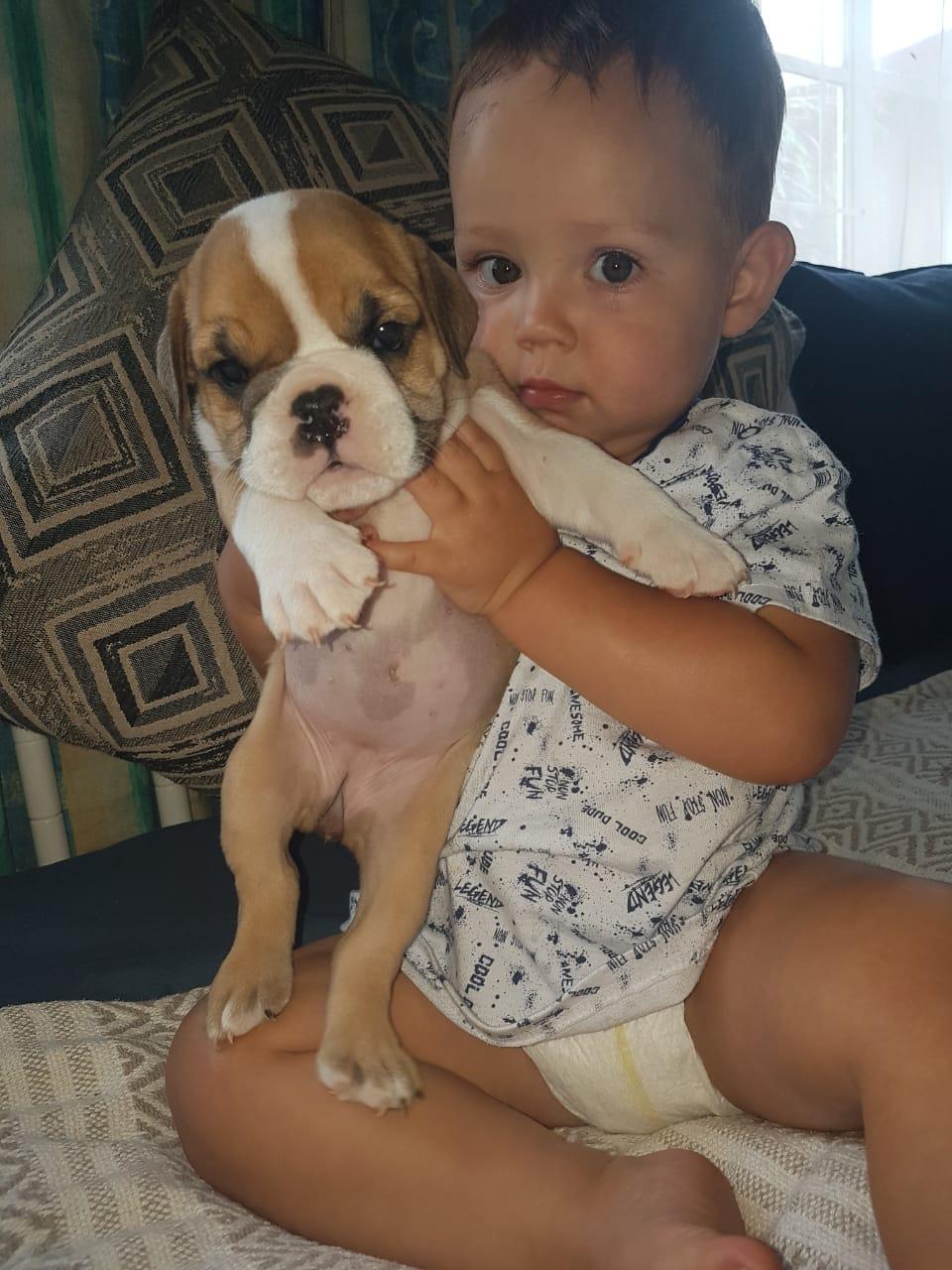 Gorgeous KUSA Reg English Bulldog puppies available