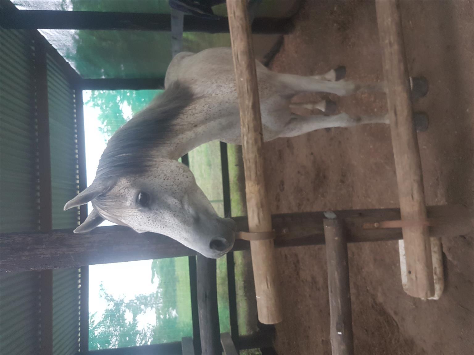 Registered Arab mare for sale
