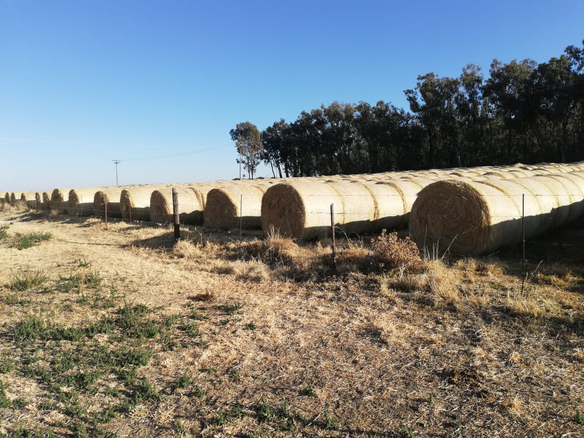 Teff Bales for Sale