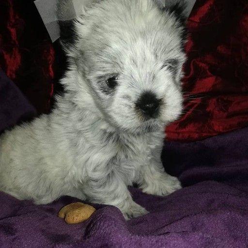 KB Biewer Yorkshire Terrier