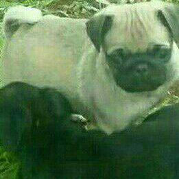 pig puppies