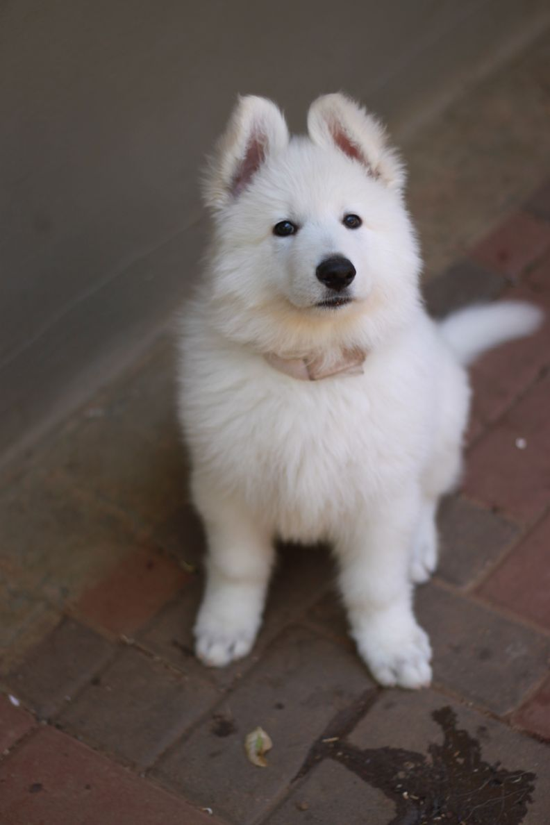 White Swiss Shepherd Puppies for sale