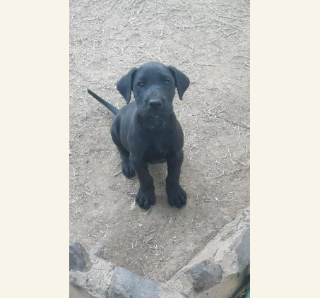 Registered Great Danes For Sale