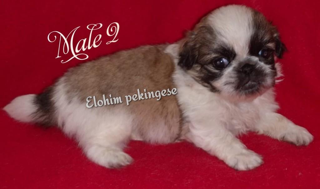 pekingese puppies  for sale