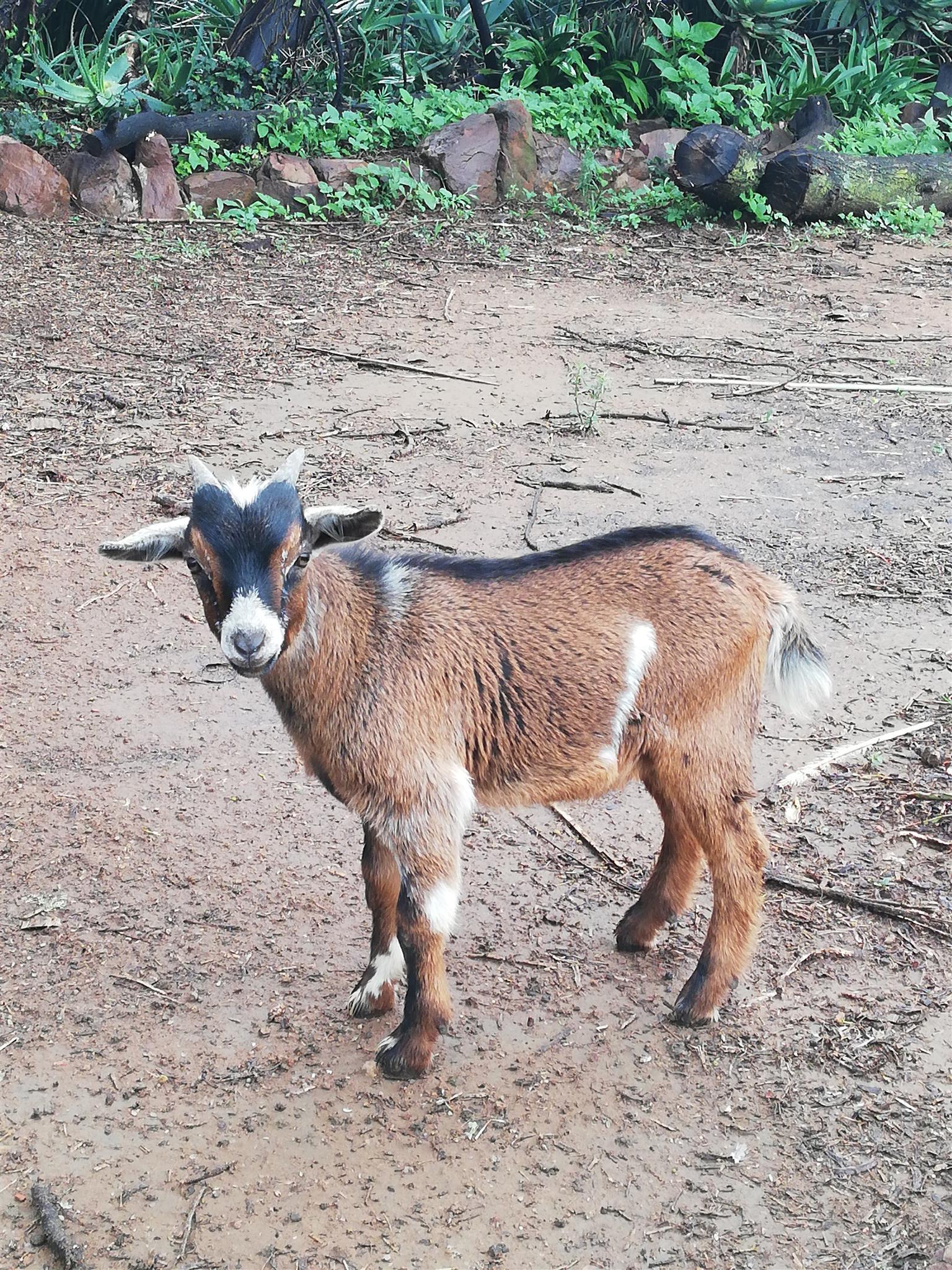 Camaroon Dwarf Goat Ram