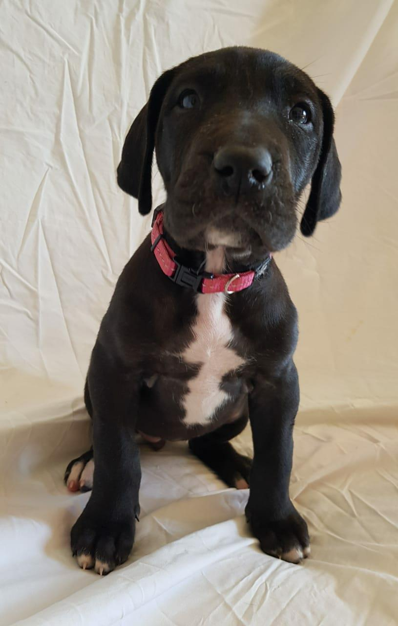 Top Quality GREAT DANE Puppies For Sale