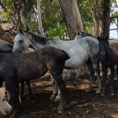 Boerperd mares for sale