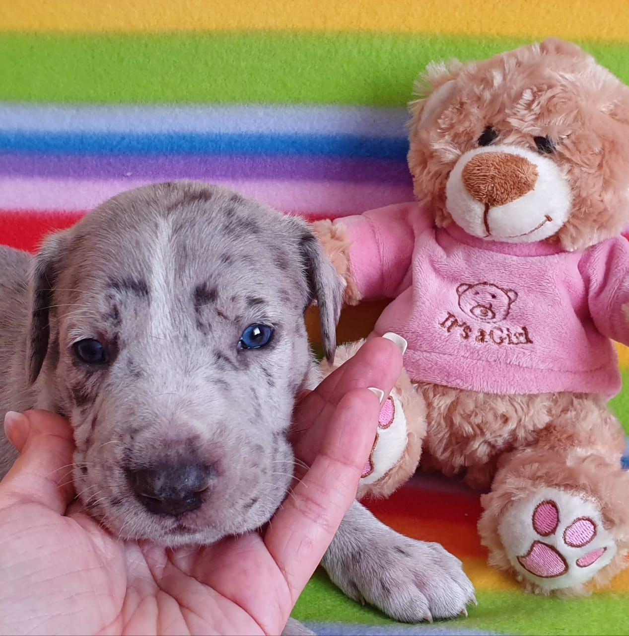 Neodaniff puppies( Greatdane X Neopolitan mastiff) born 28 October 2019