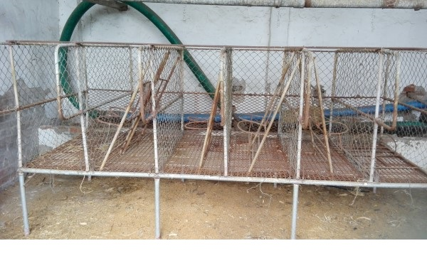 Calf rearing stand