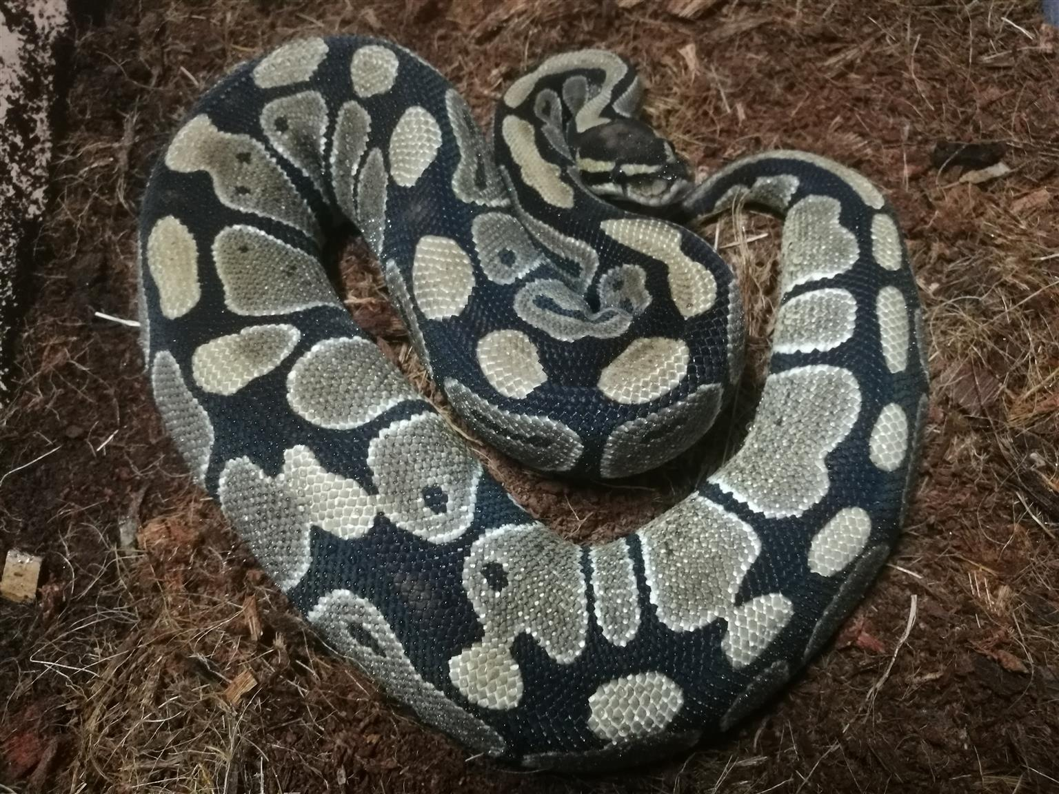 Adult ball pythons for sale