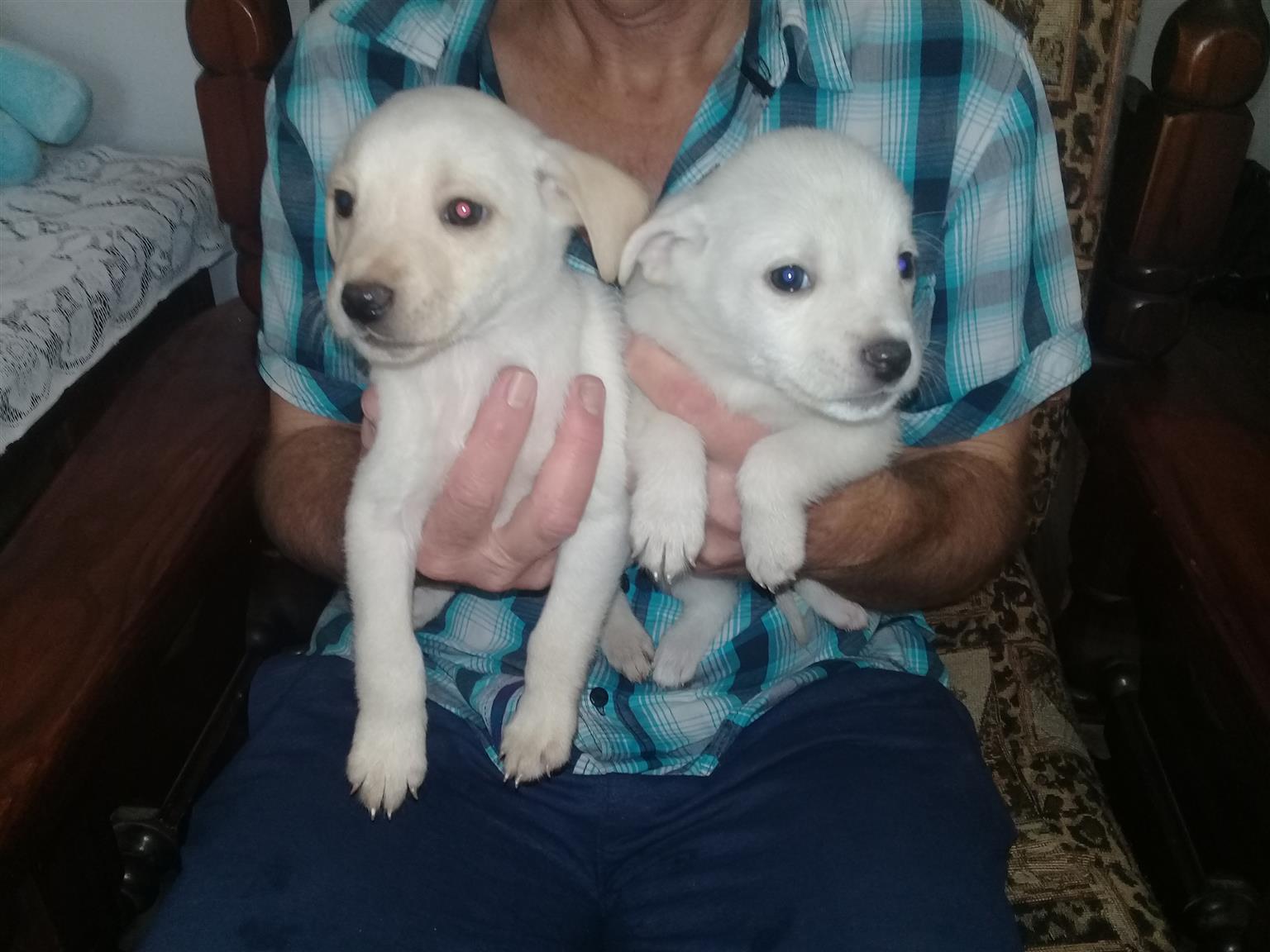 Beautiful boston terrior cross labrador pups ready for loving homes
