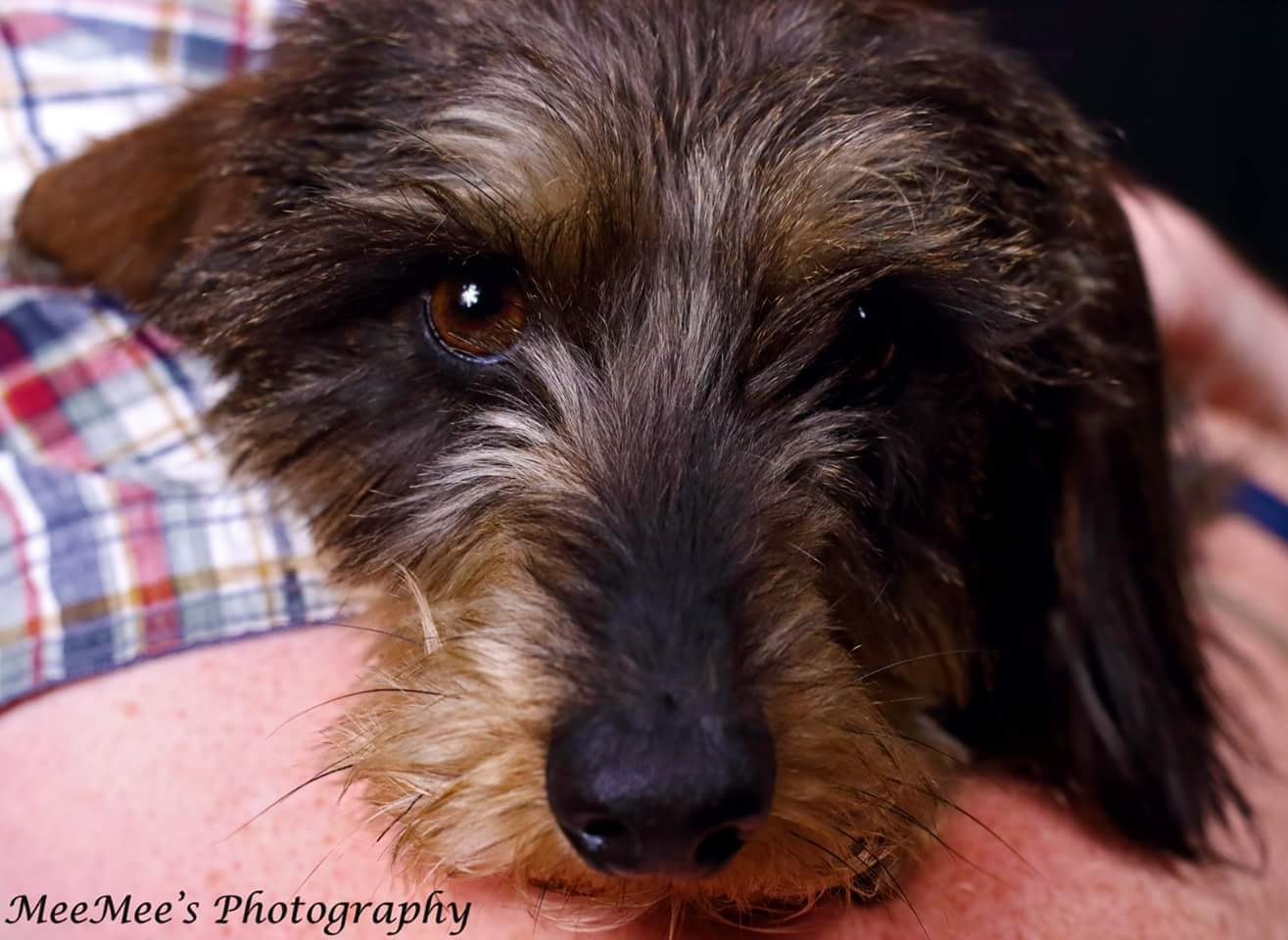 Wire haired dachshund pure bred