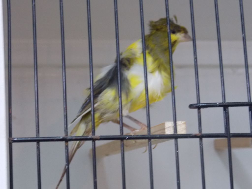 Crested Dutch frill canaries