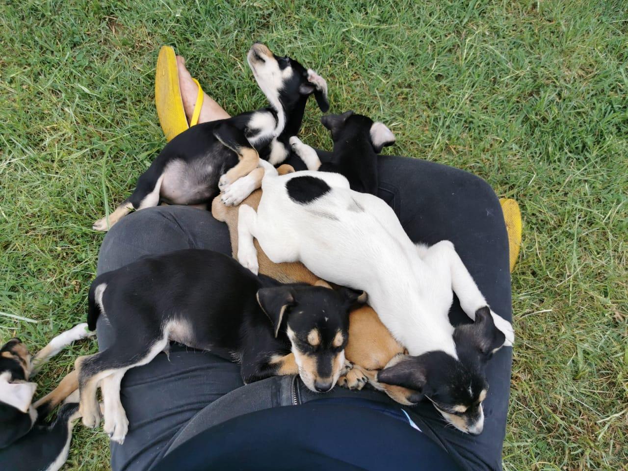 Miniature Doberman x Jack Russell puppies