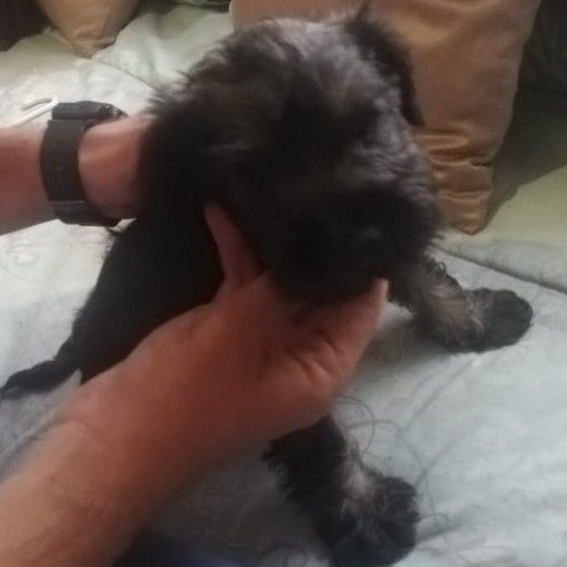 Miniature Schnauzer Puppy For Sale Junk Mail