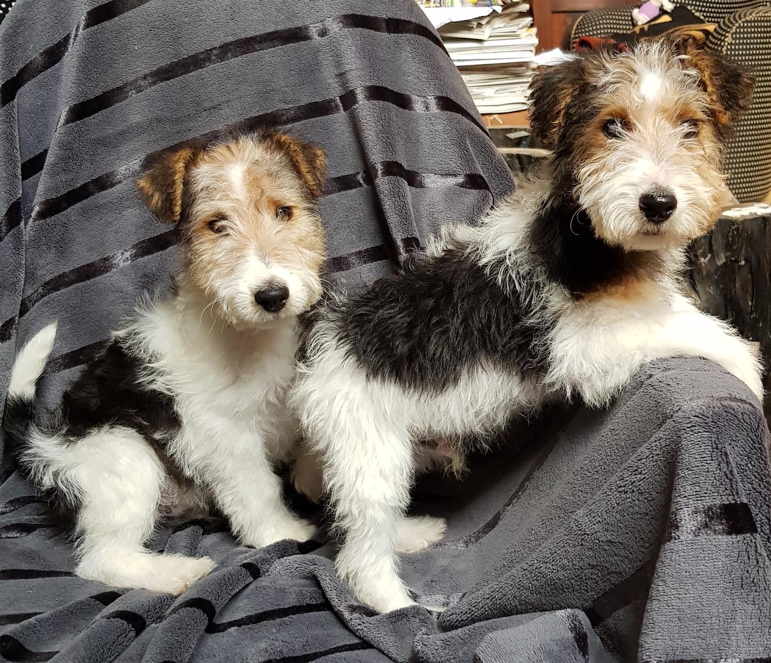 Wire hair fox terrier | Junk Mail