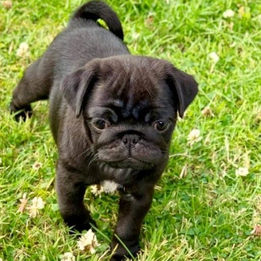 Beautiful fawn and black pug puppies.