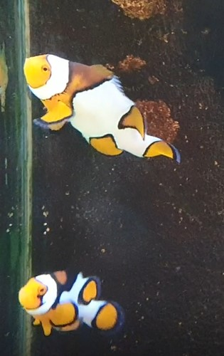 Picasso Clownfish Pair