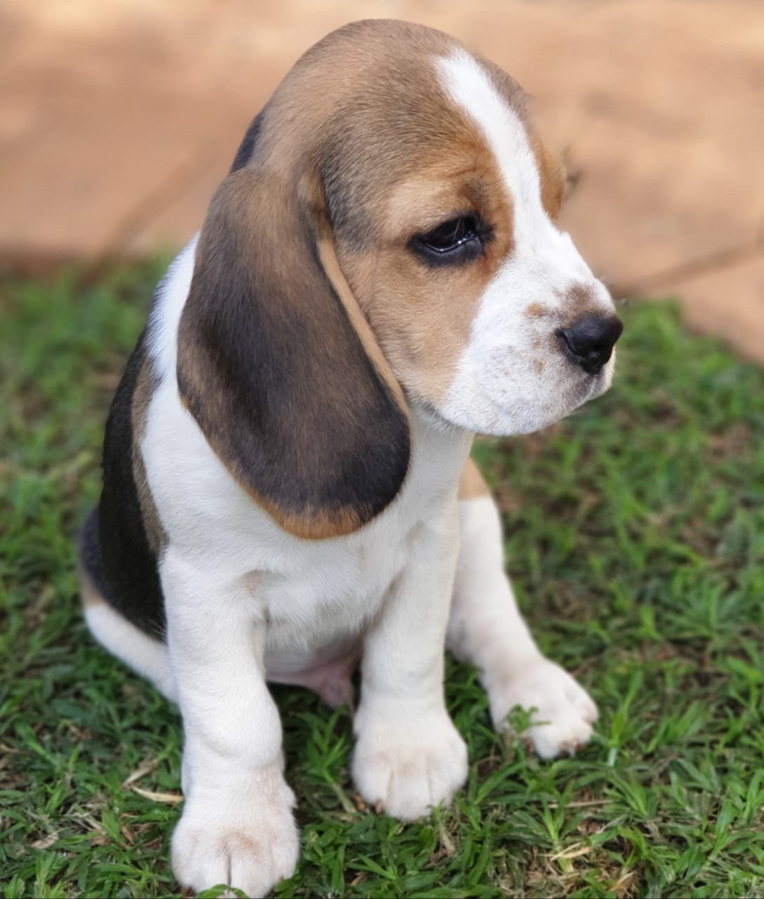 Holland Beagle Puppy Male for Sale in Netherlands