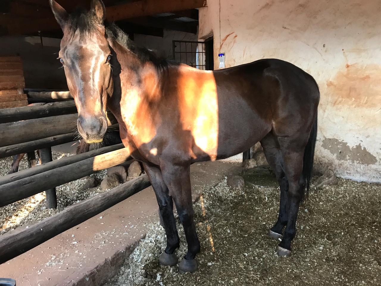 Horse (Gelding) - 4yrs for Sale