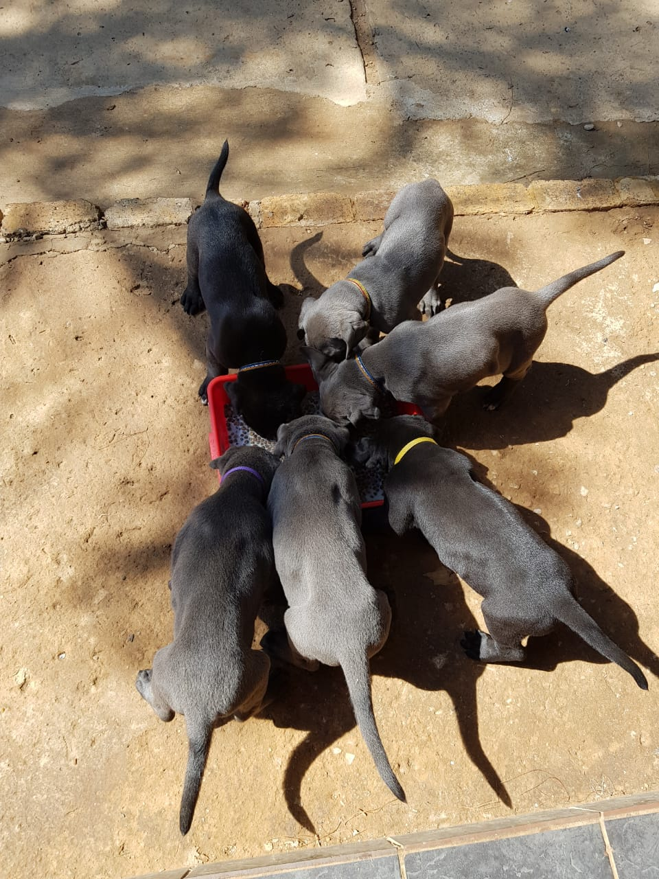 registered giant great dane puppies junk mail