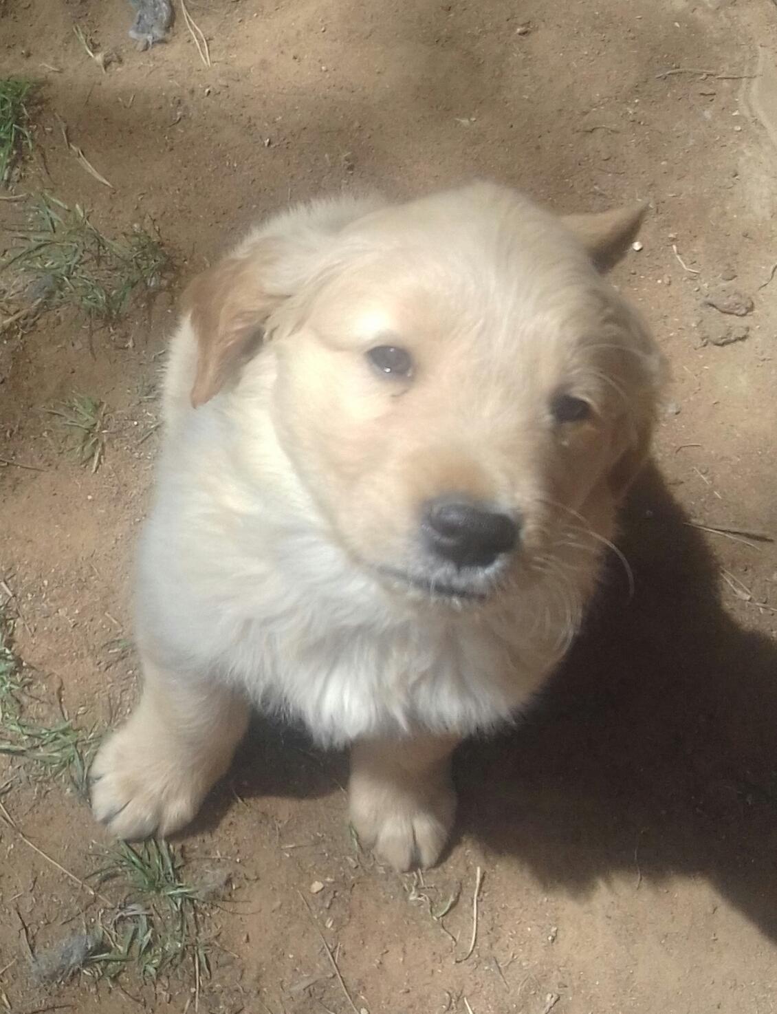 Golden Retriever Males Puppies Junk Mail