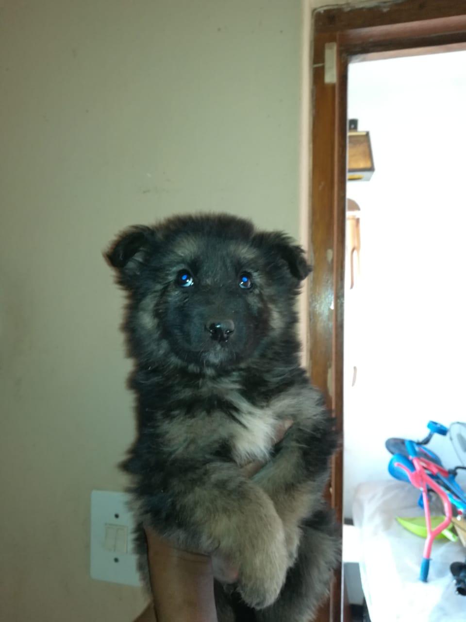 German Shepherd Pup | Junk Mail