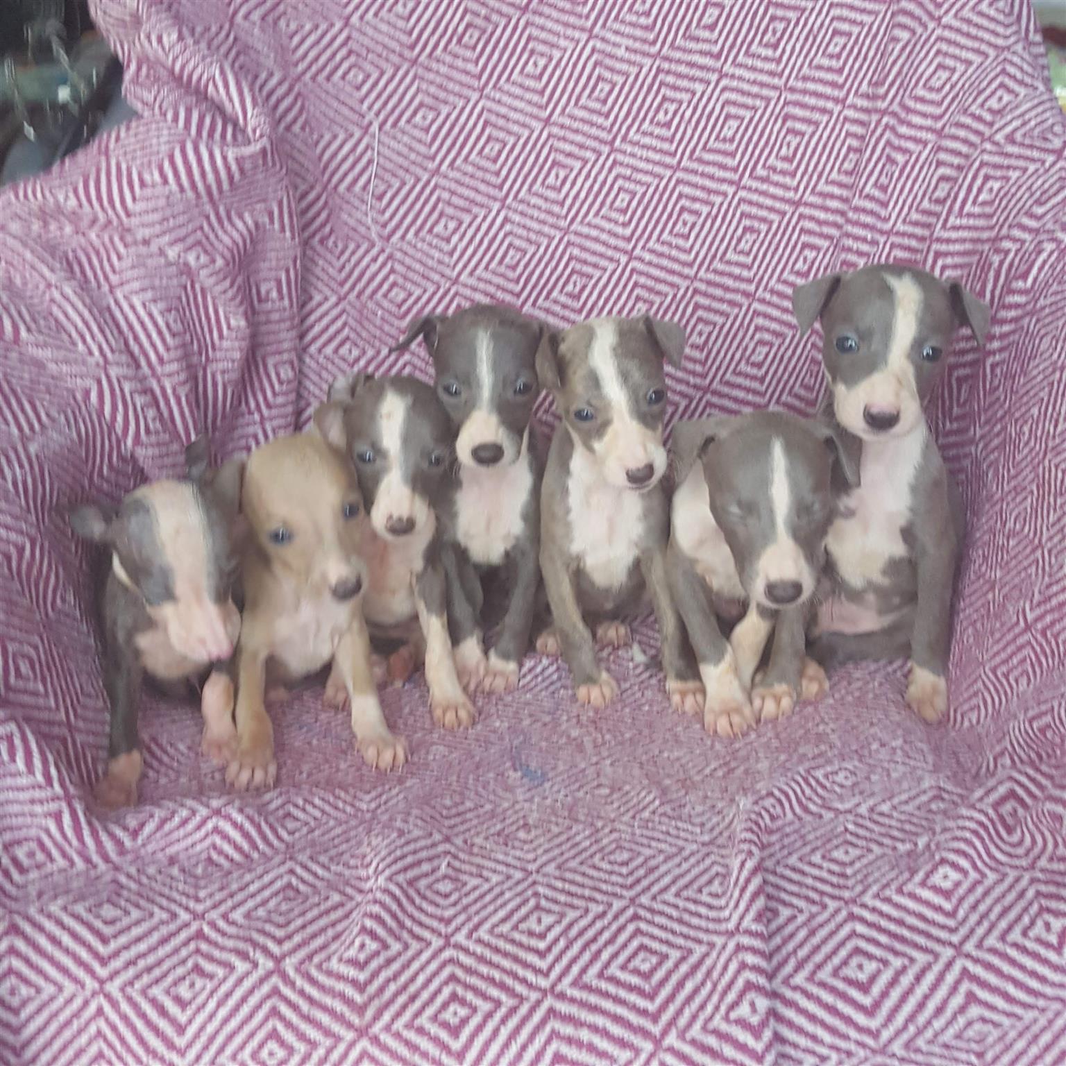 Italian Greyhound Miniature Greyhound / Italiaanse windhond Puppies