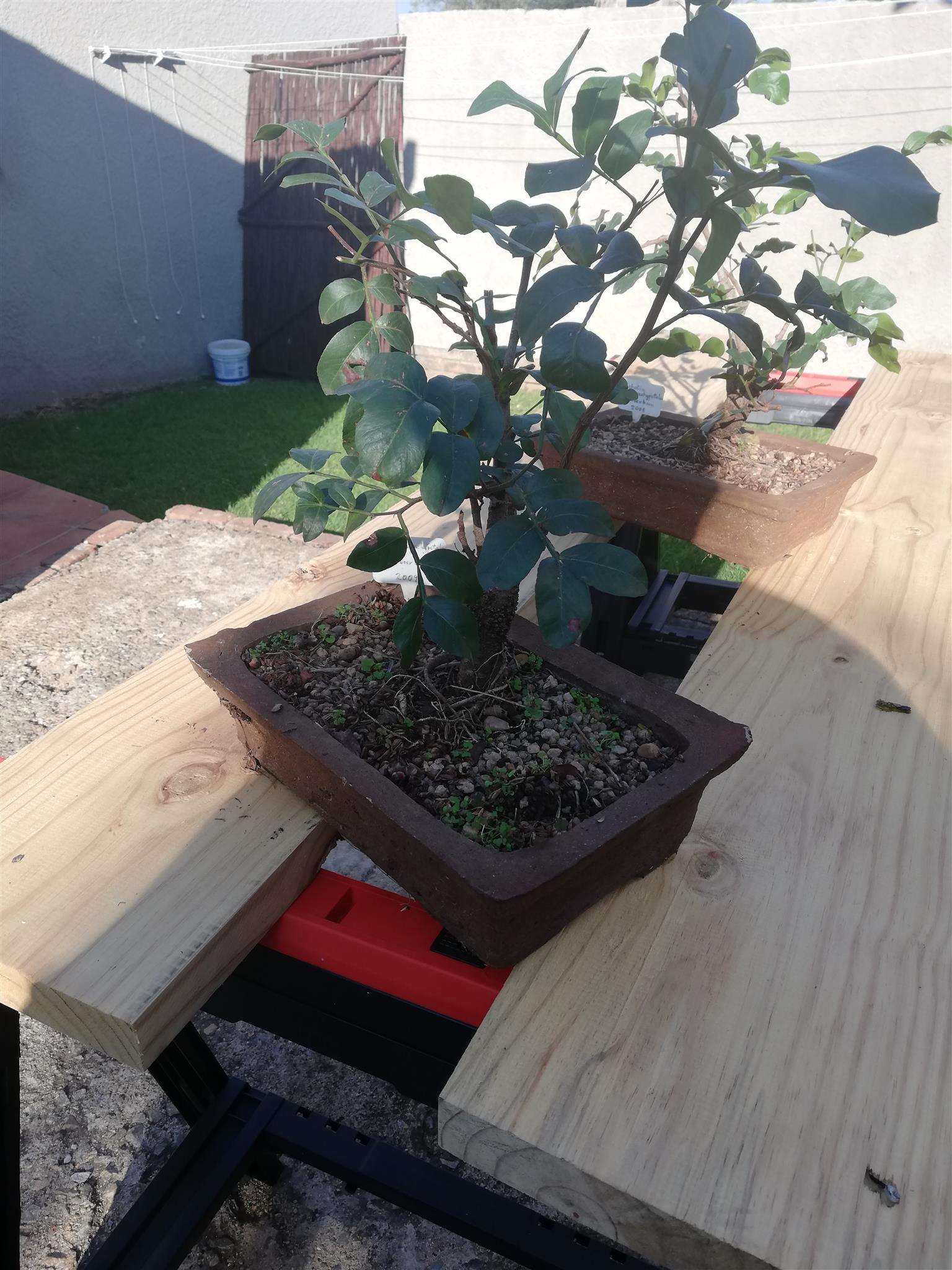 Bonsai buddies for beginners and collectors
