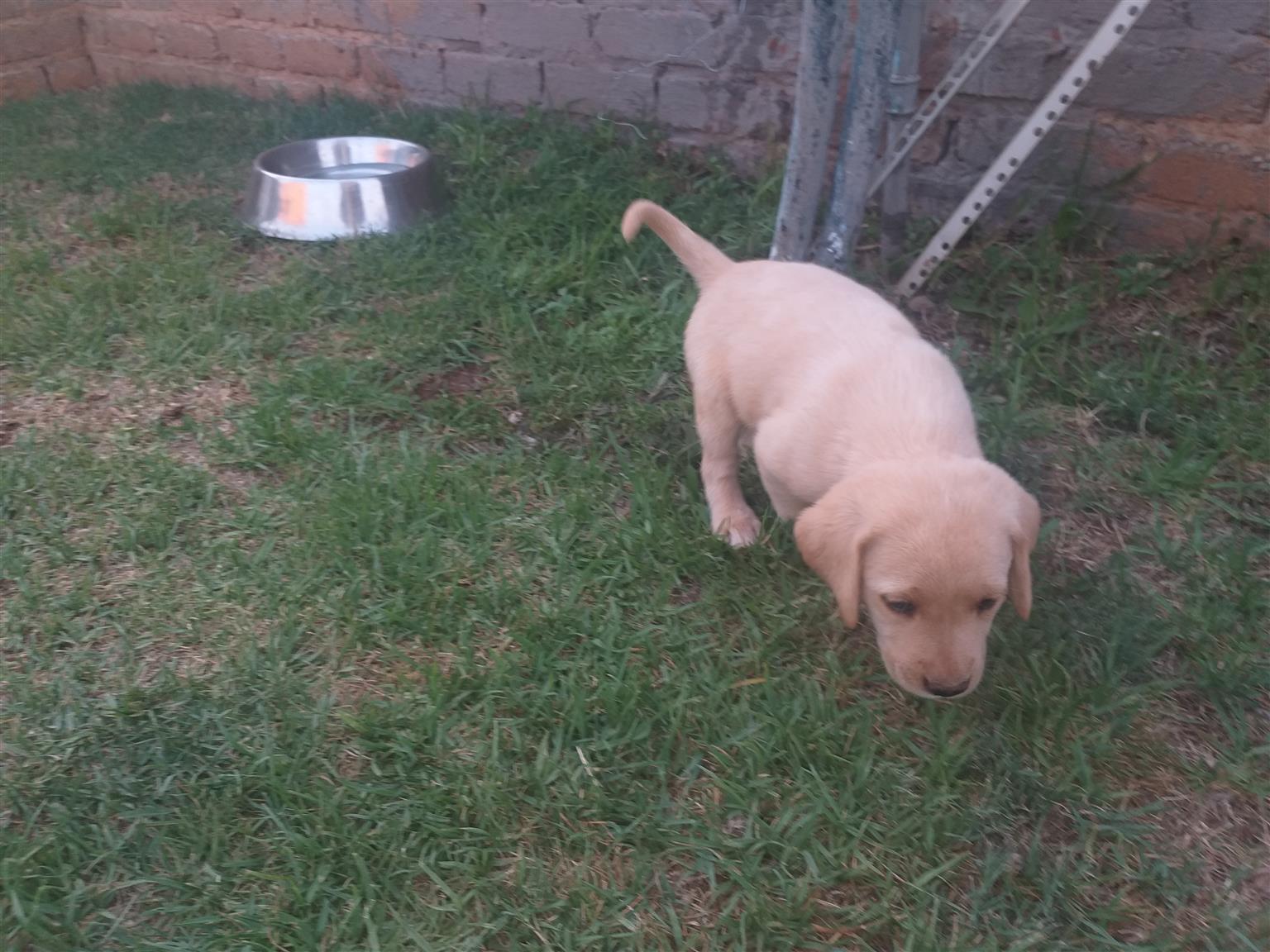 Pure bred Labrador puppy