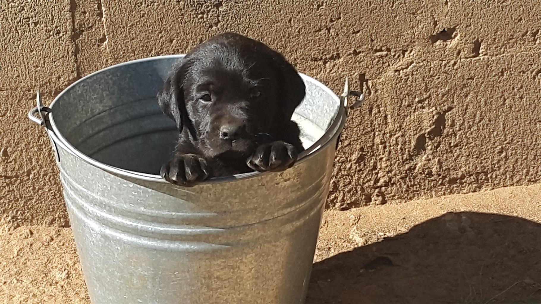 Swart Labrador hondjies