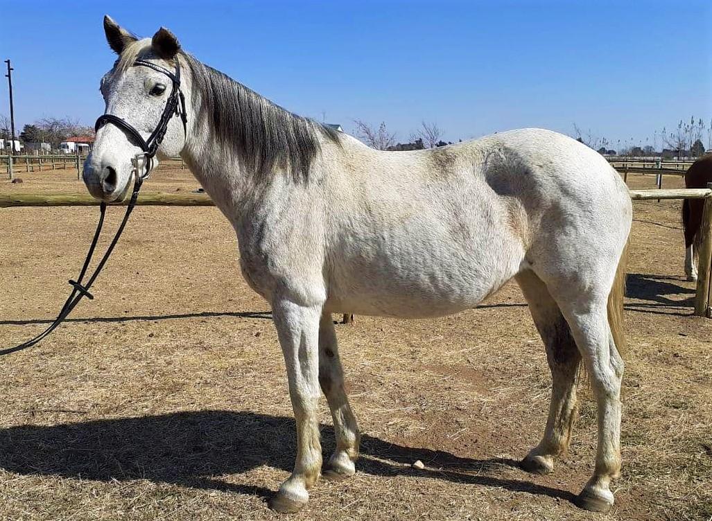 Bombproof Schoolmaster Boerperd mare