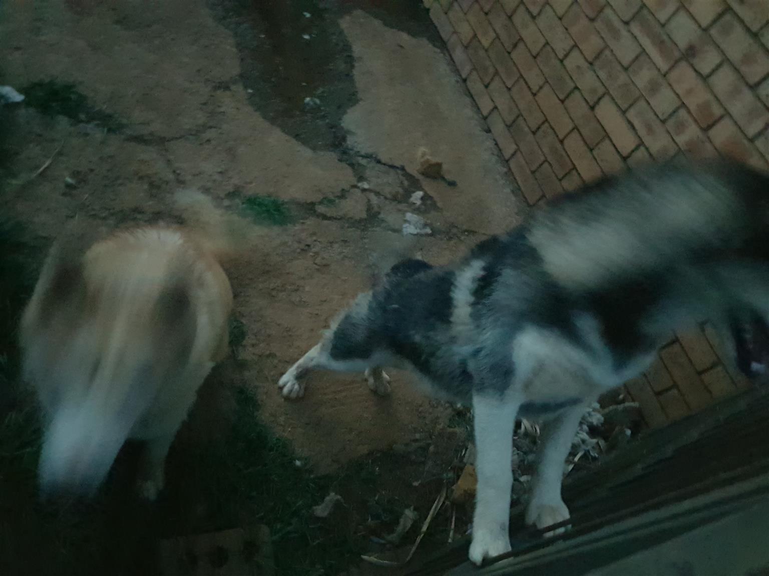 Selling siberian huskies
