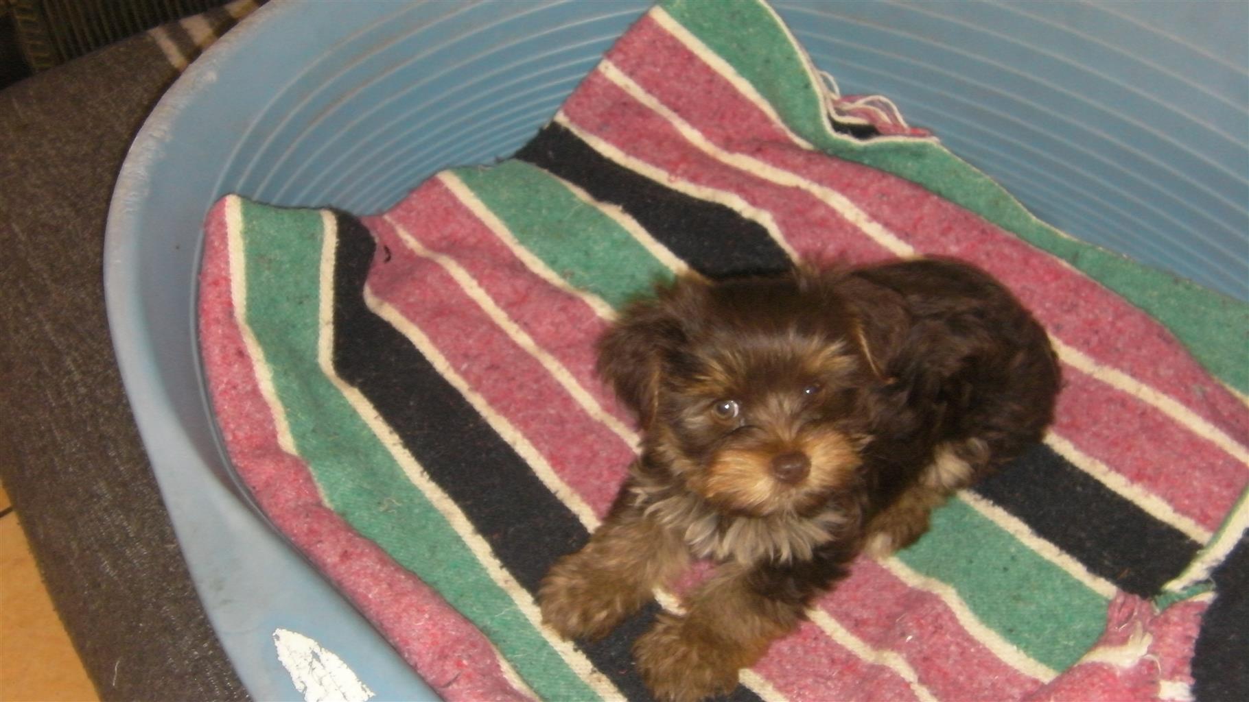 Sm all Breed Yorkie Puppy