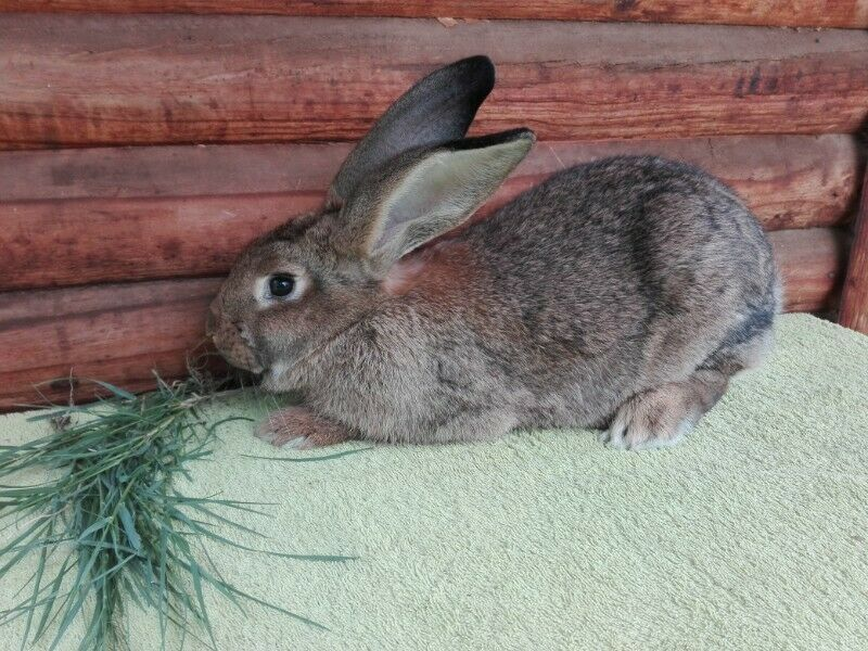 Quality flemish giant rabbits for sale