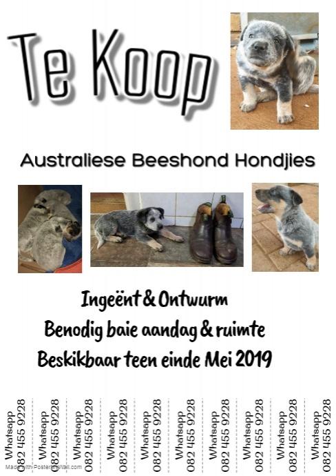 Australian cattledog puppies