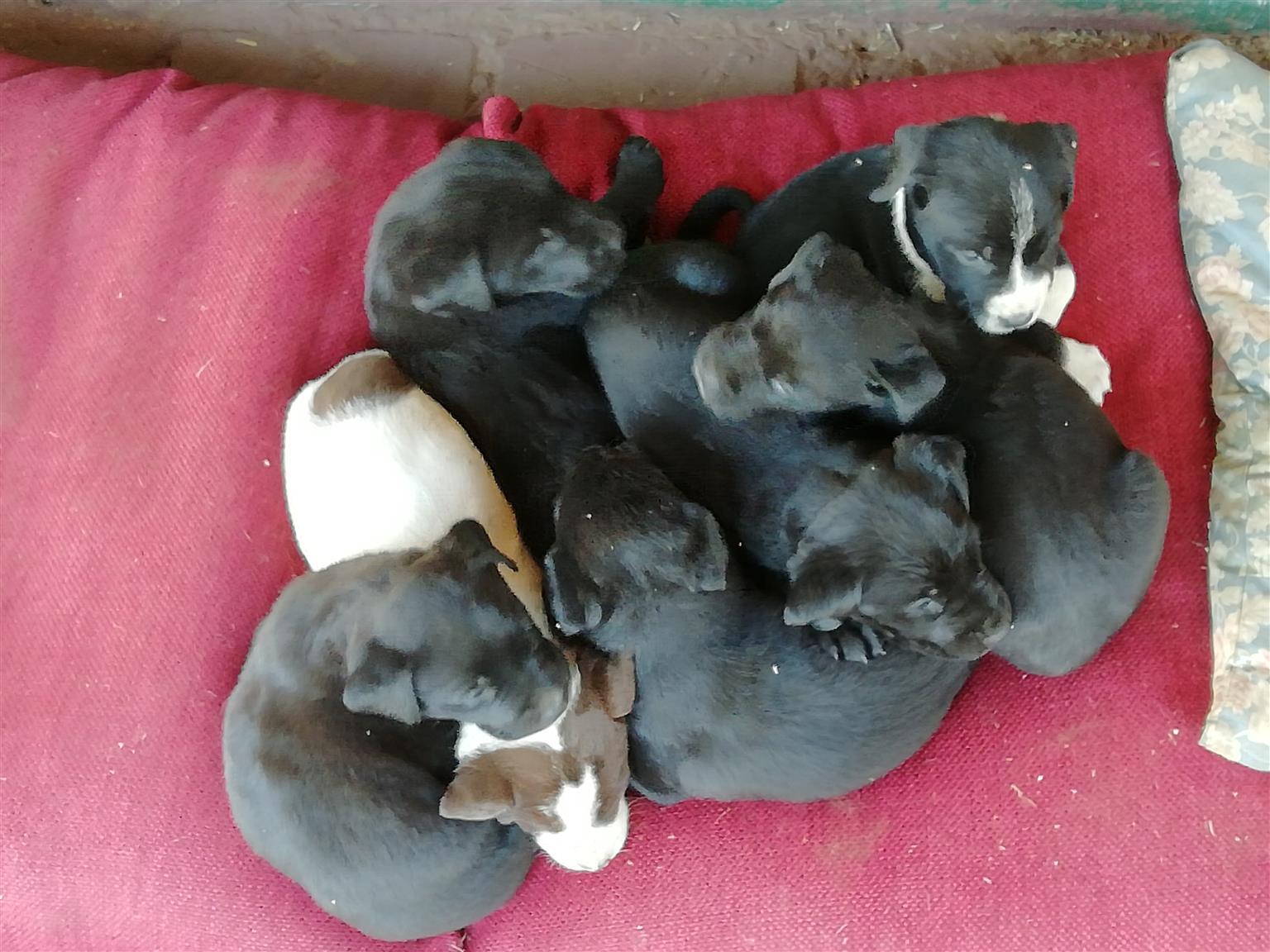 Labrador puppies 7