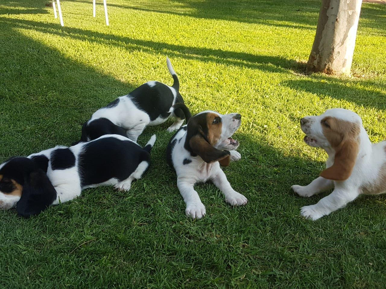 Bassets Puppies