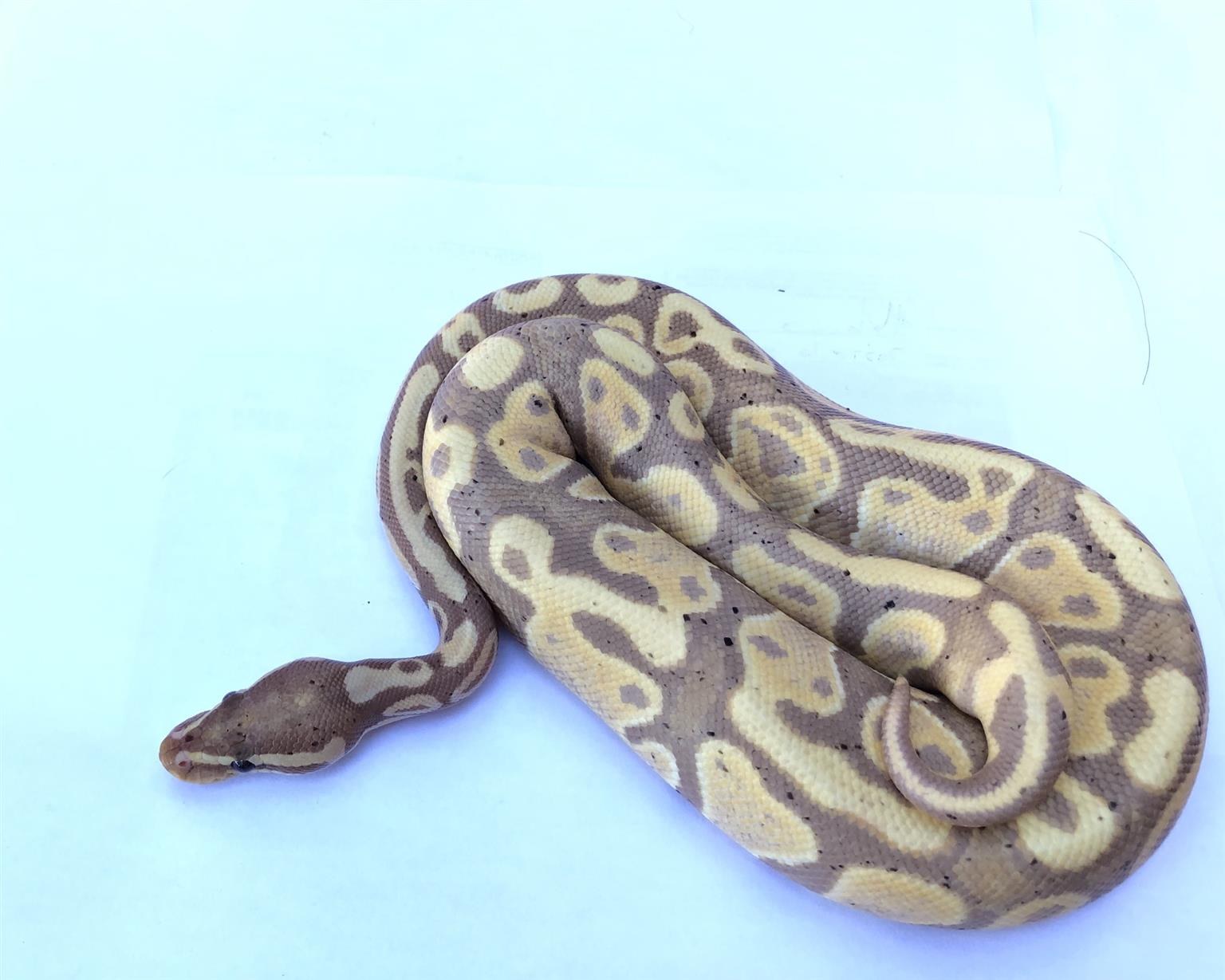Coral glow possible het pied for sale.